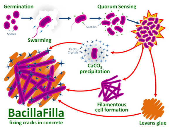Бактерии BacillaFilla помогают бороться с трещинами в бетоне