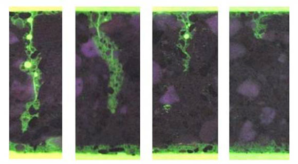 бактерии которые восстанавливают бетон